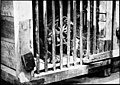 Tiger in a cage (6537940589).jpg
