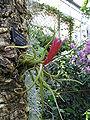 Tillandsia caput-medusae1.jpg