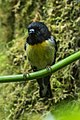 Tomtit - New Zealand (39287189361).jpg