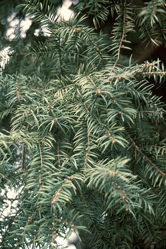 Torreya - Image: Torreya taxifolia foliage