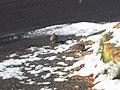 Tortolitas mexicanas (Columbina inca) nieve.jpg