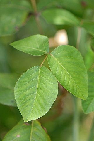 File:Toxicodendron radicans (L.) Kuntze - eastern poison ivy, poison ivy, poisonivy (3778154190).jpg
