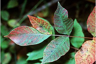 Toxicodendron vernix - Poison sumac leaves