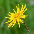 Tragopogon pratensis in Avoriaz (1).jpg