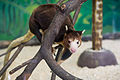 Tree Kangaroo Looking Curious (24252028391).jpg