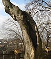 Tree forrow - linden tree.JPG