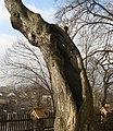 Tree forrow - linden tree.JPG