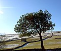 Tree in Yorkshire Dales. - geograph.org.uk - 486770.jpg