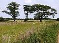 Trees near Birchmore Farm - geograph.org.uk - 485483.jpg