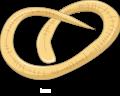 Trichinella spiralis larva.png