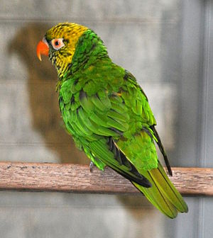 Citrine lorikeet - T. f. flavoviridis at Weltvogelpark Walsrode, Germany