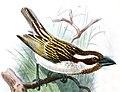 Tricholaema melanocephala blandi Keulemans.jpg