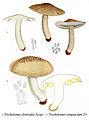 Tricholoma elytroides+compactus-Icon-Mycol.-Tab-84.jpg
