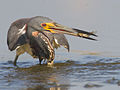 Tricolored Heron2 by Dan Pancamo.jpg