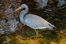 Tricolored Heron - Egretta tricolor , Everglades National Park, Shark Valley, Florida.jpg