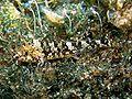 Tripterygion tripteronotus femmina Sardegna.jpg