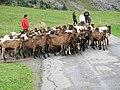 Troupeau de chèvres les-Confins.jpg