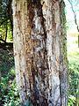 Trulo drvo.JPG