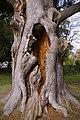 Trunk of Cedar of Lebanon by Pond, Lakeside, Enfield - geograph.org.uk - 770150.jpg