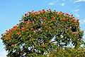 Tulipán africano (Spathodea campanulata) - Flickr - Alejandro Bayer.jpg