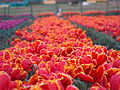 Tulip Garden in Kashmir.jpg