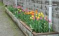 Tulips - Nanao, Ishikawa, Japan - DSC00604.jpg