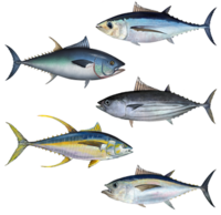 Tuna assortment.png