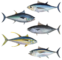 [Image: 250px-Tuna_assortment.png]