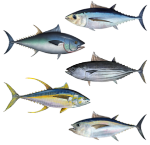 Tuna - Tunas (from top): albacore, Atlantic bluefin, skipjack, yellowfin, bigeye