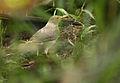 Turdus maculirostris -NW Ecuador-6.jpg