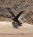Turkey Vultures (Cathartes aura) couple (31839096985).jpg