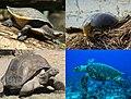 Turtle diversity.jpg