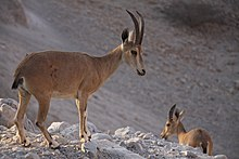 Two Nubian Ibexes, Ein Gedi nature reserve, The Judean desert, Israel.jpg