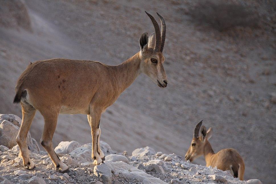 Two Nubian Ibexes, Ein Gedi nature reserve, The Judean desert, Israel
