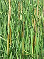 Typha angustifolia 5-eheep (5097407887).jpg