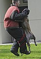 U.S. Air Force Senior Airman Shawn Witcher, assigned to the 673rd Security Forces Squadron, is lifted off his feet as Kimba, a military working dog, lunges at him and bites his arm during a training session 130826-F-LX370-582.jpg