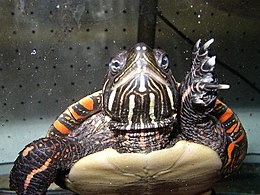 A painted turtle is swimming, apparently in an aquarium, and we see it front on at large scale, with its left webbed foot raised.