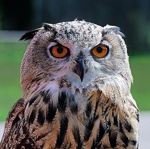 Head portrayal of a Bubo Bubo (eagle owl)