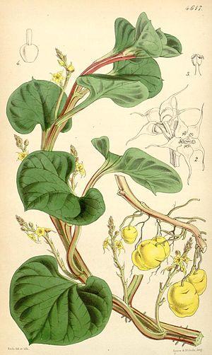 Ullucus - Image: Ullucus tuberosus