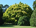 Ulmus 'Louis van Houtte' in the botanic garden in Christchurch, New Zealand (1).jpeg