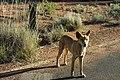 Uluru Dingo (15558410561).jpg