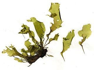 <i>Ulva linza</i> Species of seaweed