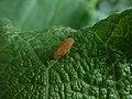 Unidentified insect, Foci dell'Avisio 01.jpg