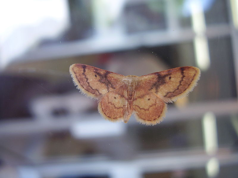 File:Unidentified moth on glass.dorsal view, moderately back-lit.image-set of subject.raw photograph 05.JPG