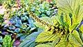 Unidentified plant in Jamburi Field (03).jpg