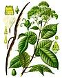 Urceola elastica - Köhler–s Medizinal-Pflanzen-276.jpg