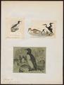 Uria troile - 1700-1880 - Print - Iconographia Zoologica - Special Collections University of Amsterdam - UBA01 IZ17800307.tif