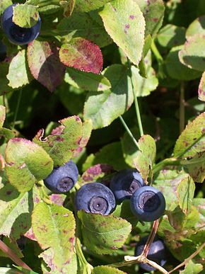 Description de l'image  Image:Vaccinium myrtillus 03.JPG .