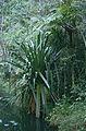 Vakoana (Pandanus sp.) (9654551229).jpg