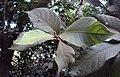 Vernonia arborea 06.JPG
